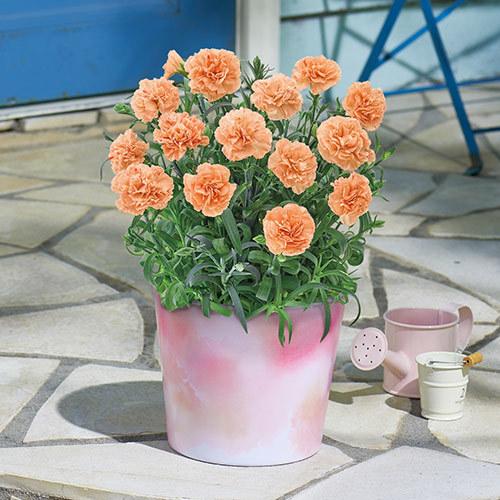 【日比谷花壇】母の日 「カーネーション(複色オレンジ系)」