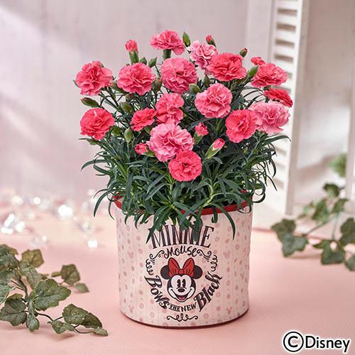 【日比谷花壇】母の日 ディズニー「ミニー スイートカーネーション」
