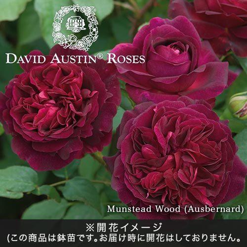 <日比谷花壇> デビッド・オースチンのバラ鉢苗「ムンステッド・ウッド」
