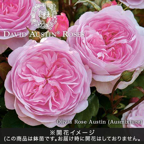 <日比谷花壇> デビッド・オースチンのバラ鉢苗「オリビアローズ」
