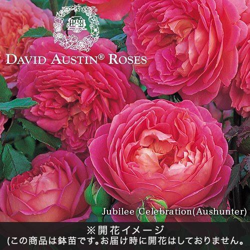 <日比谷花壇> デビッド・オースチンのバラ鉢苗「ジュビリーセレブレーション」