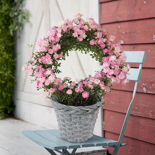 <日比谷花壇> 季節の花鉢 リング仕立てつるバラ「真珠貝」