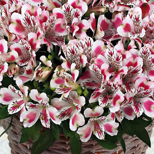 長野県トーキーズ ファームの逸品「アルストロメリア『Inticancha White Pink Blush』」