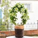季節の花鉢 クレマチスアーチ仕立て「白万重」