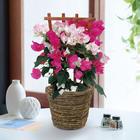 季節の花鉢「ブーゲンビリア2色植え」