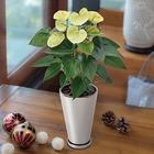 季節の花鉢 アンスリウム「バニラ」