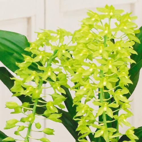 季節の蘭鉢「グラマトフィラム」2本立ち