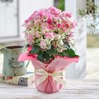 季節の花鉢「ブーゲンビリア(複色)」