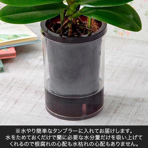 お手入れかんたんミディ胡蝶蘭L「パプリカ」(グレー陶器)