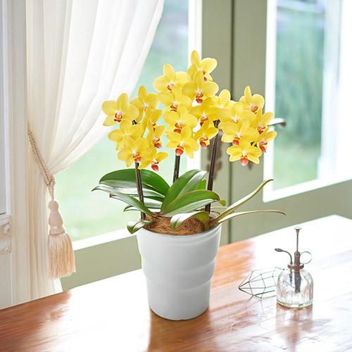 季節の蘭鉢 ミディ胡蝶蘭「ナオミゴールド」