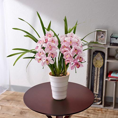 季節の蘭鉢「小型シンビジウム(ピンク系)アーチ2本立ち」