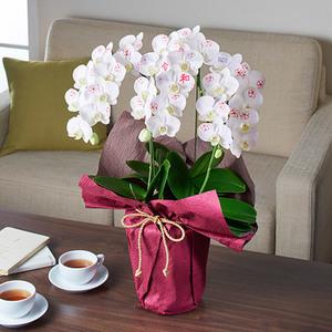 ミディ胡蝶蘭「日比谷花壇デザイナーズ化粧蘭 REIWA」の商品画像