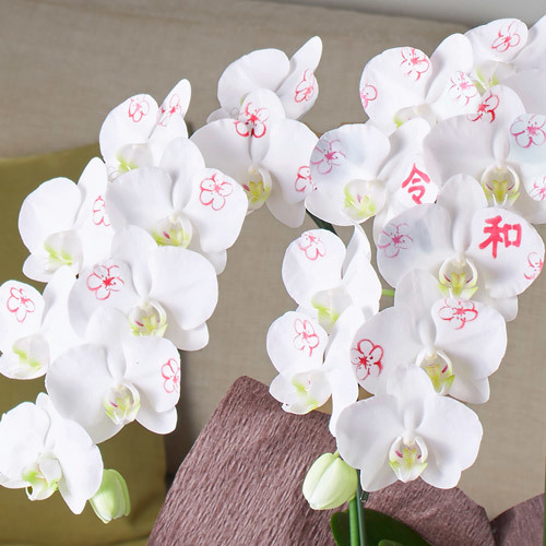 ミディ胡蝶蘭「日比谷花壇デザイナーズ化粧蘭 REIWA」