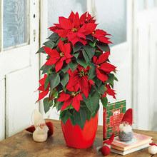 クリスマス「ポインセチア(タワー仕立て)」