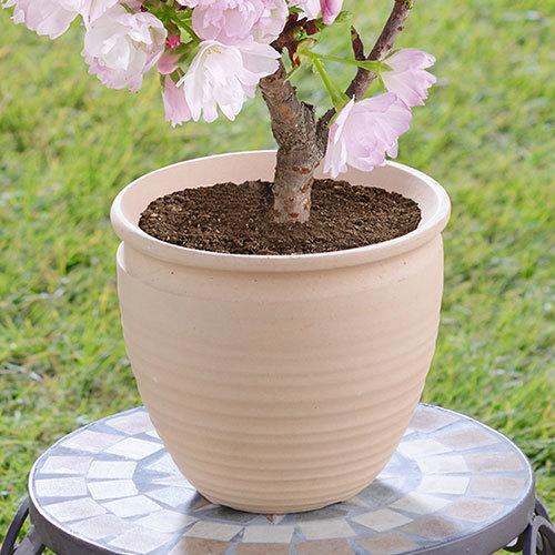 桜の小鉢「旭山」4号