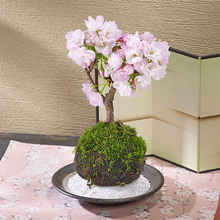 桜の苔玉「旭山」