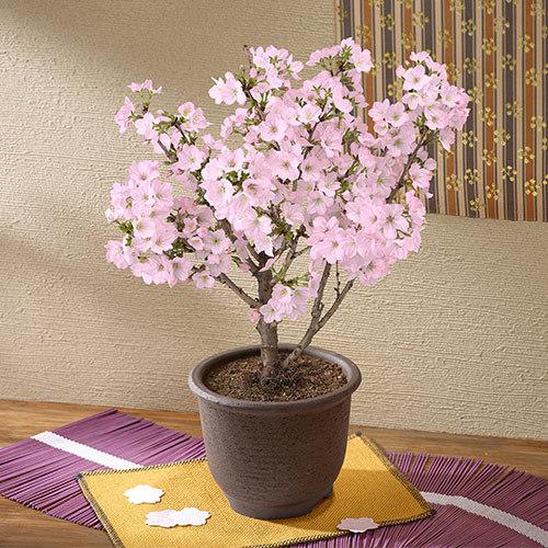 桜鉢「御殿場桜」