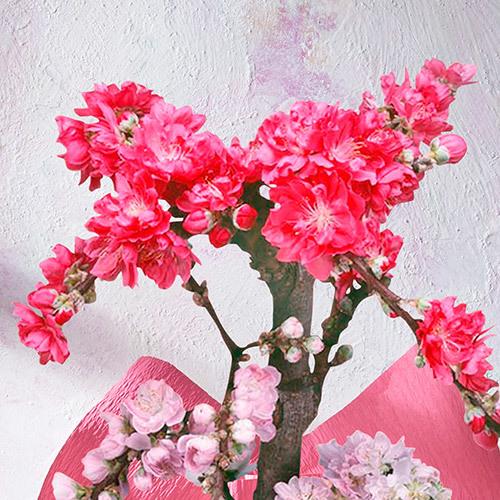 桃鉢「南京花桃」