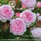 2年生大株 開花見込み株 オリビア・ローズ・オースチン(ピンク)7号鉢陶器植え込み
