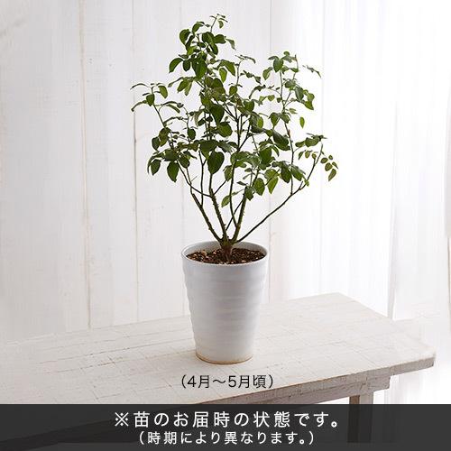 2年生大株 開花見込み株 ダーシー・バッセル(レッド)7号鉢陶器植え込み