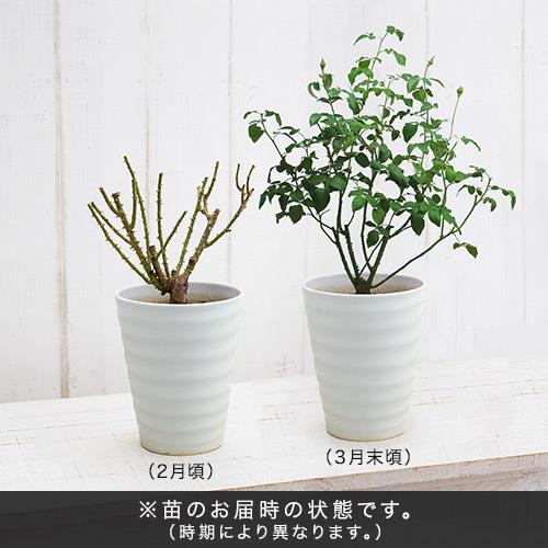 2年生大株 開花見込み株 レディ・エマ・ハミルトン(オレンジ)7号鉢陶器植え込み