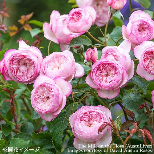 2年生大株 開花見込み株 ザ・ミル・オン・ザ・フロス(ピンク・ホワイト)7号鉢陶器植え込み