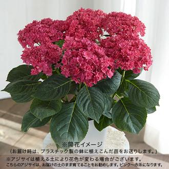 冬芽でお届け 2年生大株 開花見込み株 アジサイ「エリザベス」