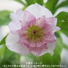 3年生大株 開花見込み株 クリスマスローズ(ホワイト・ピンク)