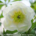 3年生大株 開花見込み株 クリスマスローズ(ホワイト)