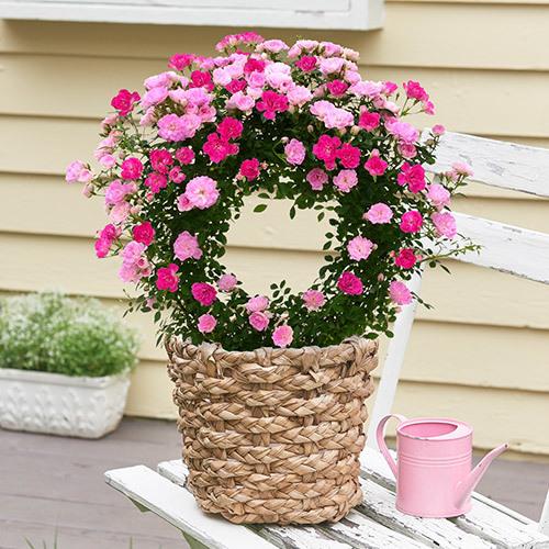 母の日 ツルバラ「ピンク2色」リング仕立