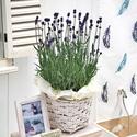 季節の花鉢「イングリッシュラベンダー」