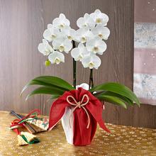 ミディ胡蝶蘭 風呂敷包み「ホワイト」