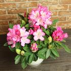 季節の花鉢 シャクナゲ(ピンク系)