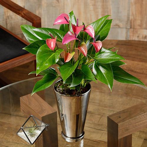 季節の花鉢 アンスリウム「シラノ」