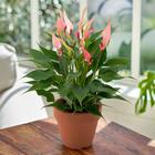 季節の花鉢 アンスリウム「リリィ」