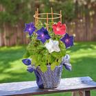 季節の花鉢  「朝顔桔梗咲き(3色植え)」