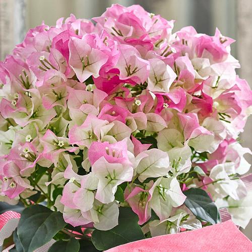 季節の花鉢  「ブーゲンビリア(複色)」