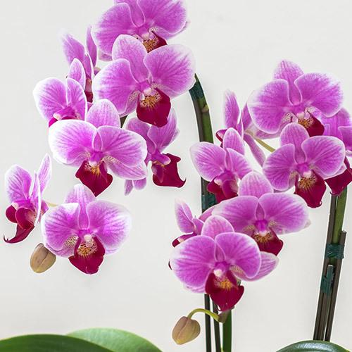 季節の蘭鉢 「ミディ胡蝶蘭(ピンク・2本立ち)」
