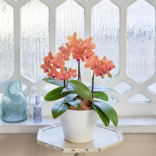 季節の蘭鉢  ミディ胡蝶蘭「パプリカ」(3本立ち)