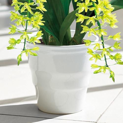 季節の蘭鉢  「グラマトフィラム(2本立ち)」