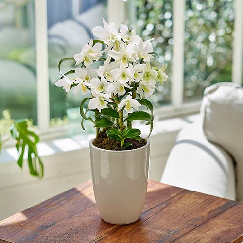 季節の蘭鉢  フォーミディブル「サマーナイトドリーム・サチ」