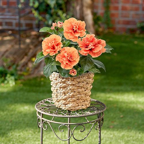 季節の花鉢  「ハイビスカス八重咲き(オレンジ)」