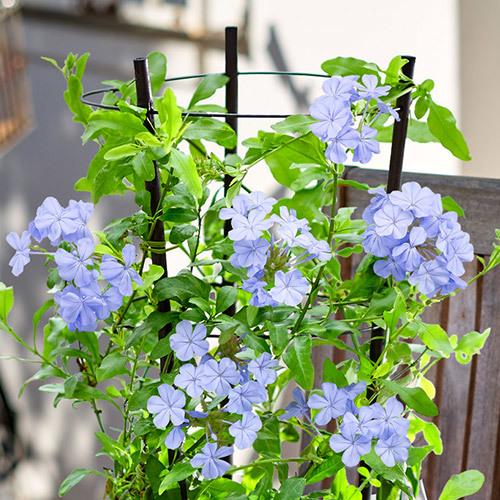 季節の花鉢  「ルリマツリ」