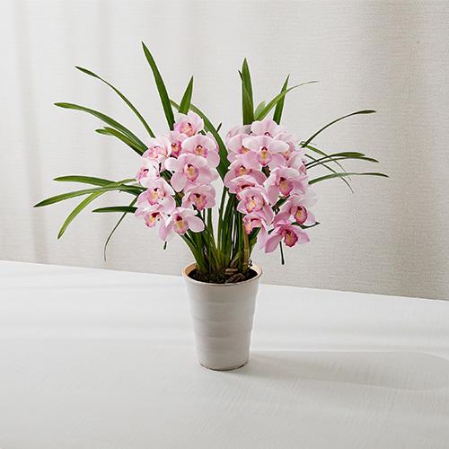季節の蘭鉢 小型シンビジウム(ピンク系、アーチ、2本立ち)