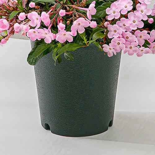 季節の花鉢 におい桜「舞」(5号)