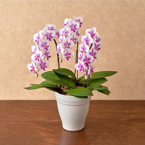 季節の蘭鉢 ミディ胡蝶蘭「キャデリーヌ」(3本立ち)
