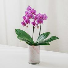 季節の蘭鉢 お手入れ簡単ミディ胡蝶蘭(ピンク系、2本立ち)