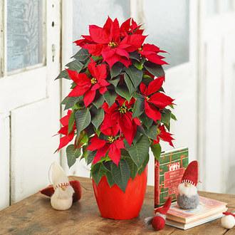 クリスマス ポインセチア(タワー仕立て、5号)