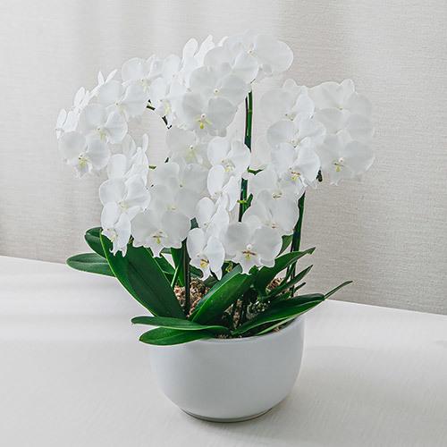 お歳暮 ミディ胡蝶蘭「ビッグリップ」(ホワイト系、5本立ち)