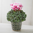 季節の花鉢 シクラメン「リップス」(ピンク系、7号)